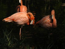 Afrikanska flamingo som ansar i dammet på skymning Arkivbilder