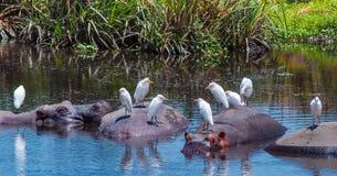 Afrikanska flodhästar i en naturlig vattenpöl i den Ngorongoro nationalparken i Tanzania, Afrika royaltyfria foton