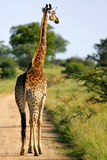 afrikanska giraff royaltyfri foto