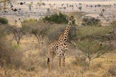 Afrikanska giraff betar i savannahen africa djurliv arkivfoton
