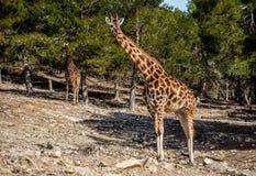 Afrikanska giraff utomhus Arkivfoto