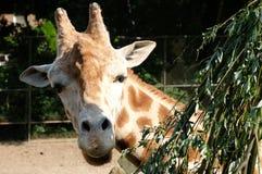Afrikanska giraffGiraffacamelopardalis Giraffet är det mest högväxta landdäggdjuret i världen Giraff är herbivor som äter fotografering för bildbyråer