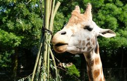 Afrikanska giraffGiraffacamelopardalis Giraffet är det mest högväxta landdäggdjuret i världen Giraff är herbivor som äter royaltyfri foto