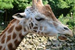 Afrikanska giraffGiraffacamelopardalis Giraffet är det mest högväxta landdäggdjuret i världen Giraff är herbivor som äter arkivbild