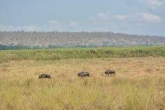 Afrikanska gnu på mitt av gräs Arkivfoto