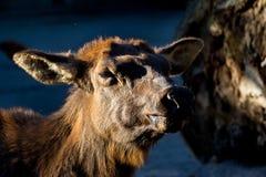 afrikanska hjortar Royaltyfri Bild