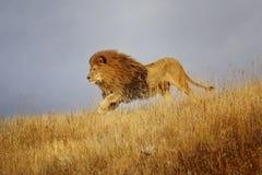 Afrikanska körningar för ett lejon till och med gräs arkivbild