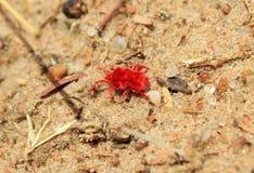 Afrikanska kryp av färg - röd sammetTick Royaltyfri Foto