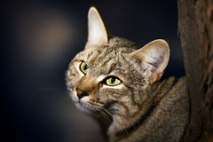 Afrikanska lösa Cat Portrait Arkivfoton
