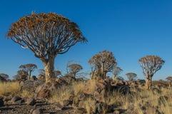 Afrikanska landskap - darrningträdskog Namibia Arkivbilder