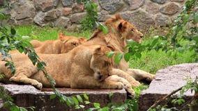 Afrikanska lejon arkivfilmer