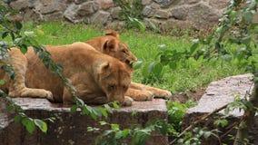 Afrikanska lejon stock video