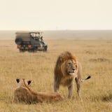 Afrikanska lejonpar och safarijeep Arkivbilder