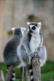afrikanska lemurs utomhus Arkivfoto