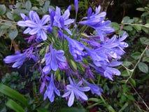 Afrikanska liljor eller lilja av Nilen - färgad lavendelblått blommar, Porgual Arkivfoton