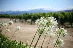 Afrikanska lillies i sommar, Nya Zeeland Arkivfoton