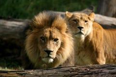 afrikanska lionpar fotografering för bildbyråer