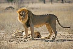 afrikanska lionpar arkivbild