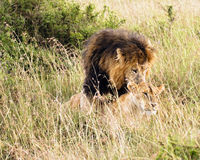 afrikanska lions Arkivfoton