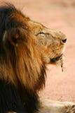 afrikanska lions Arkivbilder