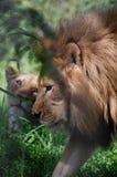 afrikanska lions Arkivbild
