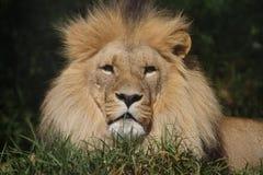 afrikanska lions Fotografering för Bildbyråer