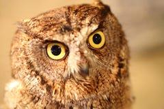 afrikanska owlscops Royaltyfri Foto