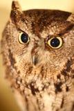 afrikanska owlscops Royaltyfri Fotografi