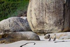 Afrikanska penuins på stenblockstrand Arkivbilder