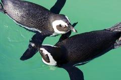afrikanska pingvin Arkivfoton