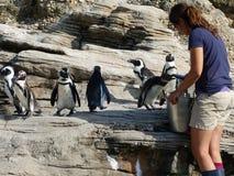 Afrikanska pingvin 11 Royaltyfri Bild