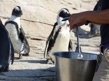 Afrikanska pingvin 47 Arkivfoton