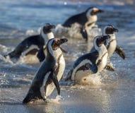 Afrikanska pingvin Den afrikanska pingvinet (spheniscusdemersus) går ut från havet Royaltyfria Foton