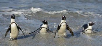 Afrikanska pingvin går ut ur havet på den sandiga stranden Royaltyfria Bilder
