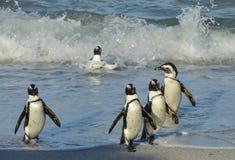 Afrikanska pingvin går ut ur havet på den sandiga stranden Royaltyfri Fotografi