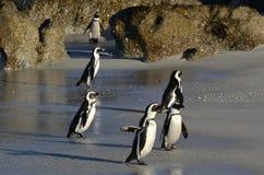 Afrikanska pingvin går ut ur havet på den sandiga stranden Royaltyfri Foto