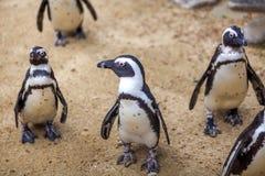 Afrikanska pingvin i den Tbilisi zoo, världen av djur Royaltyfri Fotografi