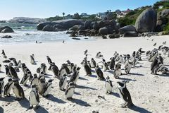Afrikanska pingvin i stenblockstrand Royaltyfri Bild