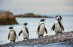 Afrikanska pingvin på den steniga kusten Fotografering för Bildbyråer