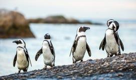 Afrikanska pingvin på den steniga kusten Arkivfoto