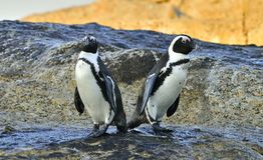 Afrikanska pingvin på kusten Arkivbilder