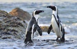 Afrikanska pingvin på kusten Royaltyfria Foton