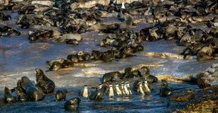 Afrikanska pingvin på skyddsremsaön royaltyfri bild