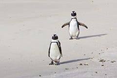 Afrikanska pingvin på strand Arkivbilder