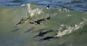 Afrikanska pingvin som simmar i havet Royaltyfria Bilder