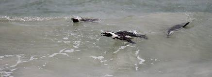 Afrikanska pingvin som simmar i havet Fotografering för Bildbyråer