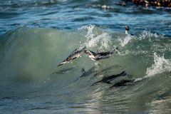 Afrikanska pingvin som simmar i havvåg Den afrikanska pingvinet (Spheniscusdemersus), också som är bekant som dumskallepingvinet  Royaltyfri Bild