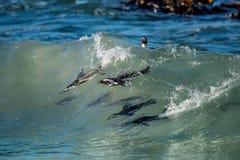Afrikanska pingvin som simmar i havvåg Den afrikanska pingvinet (Spheniscusdemersus), också som är bekant som dumskallepingvinet  Arkivfoto