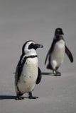 Afrikanska pingvin (Spheniscusdemersusen) Royaltyfri Foto