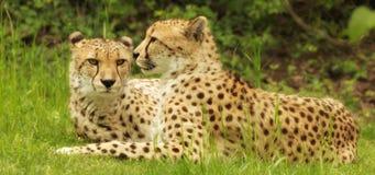 Afrikanska prickiga leoparder Royaltyfri Foto